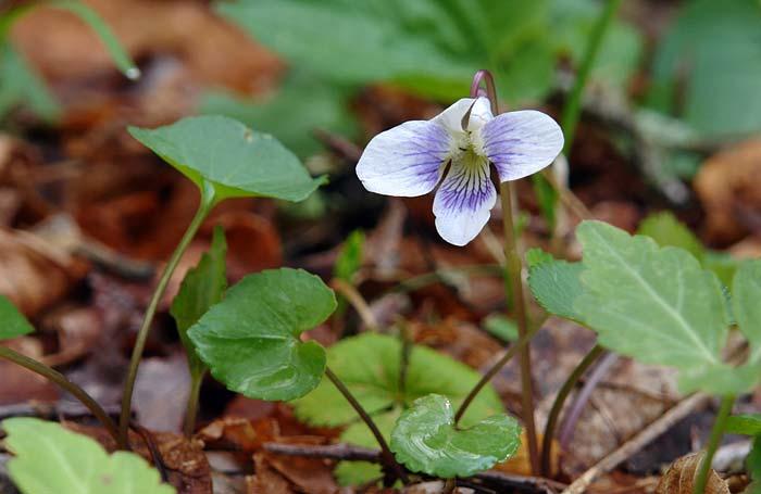 Bi-color Violet 1