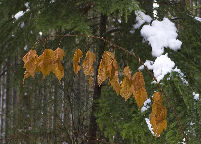 Alder Leaves and Snow