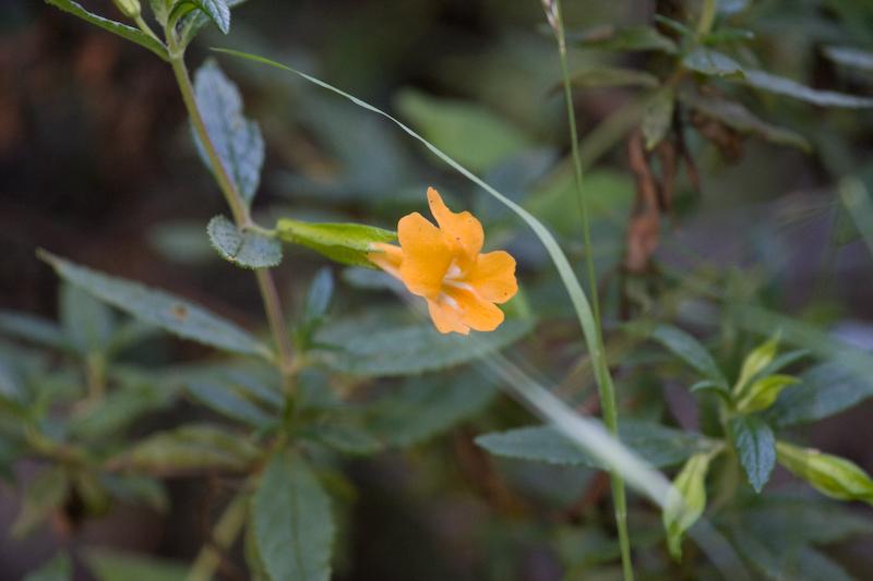 Sticky Monkey Flower (Mimulus aurantiacus)