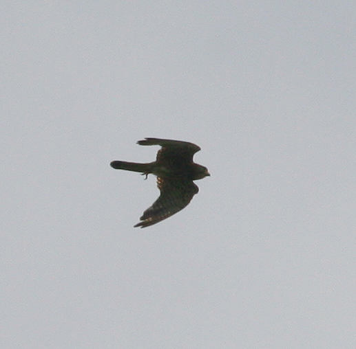 spotted kestrel, Sarangan