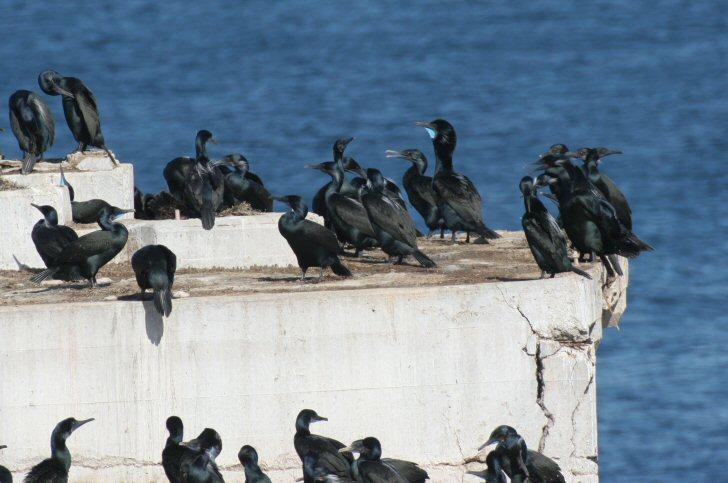 brandts cormorant - phalacrocorax penicillatus