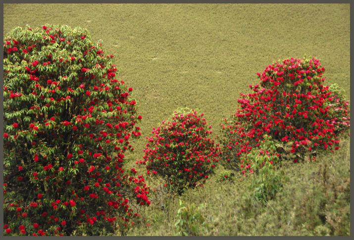 Rhododendron  Bhutan