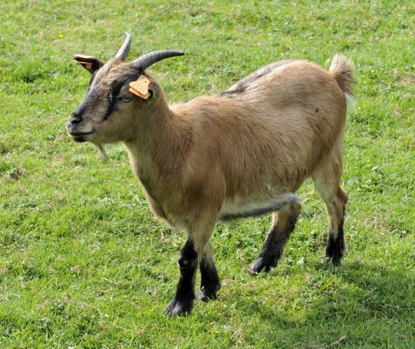 20110916 goats  15.JPG