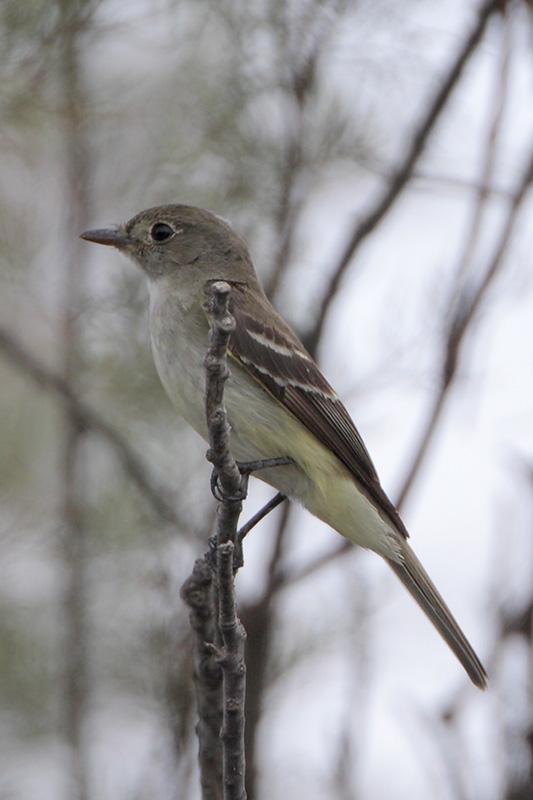 Willow/Alder Flycatcher