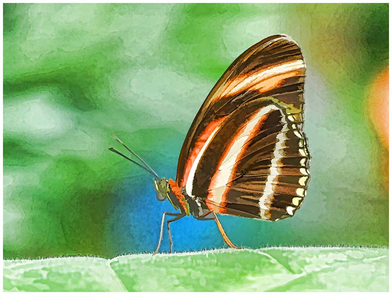 Oranged Banded Heliconian