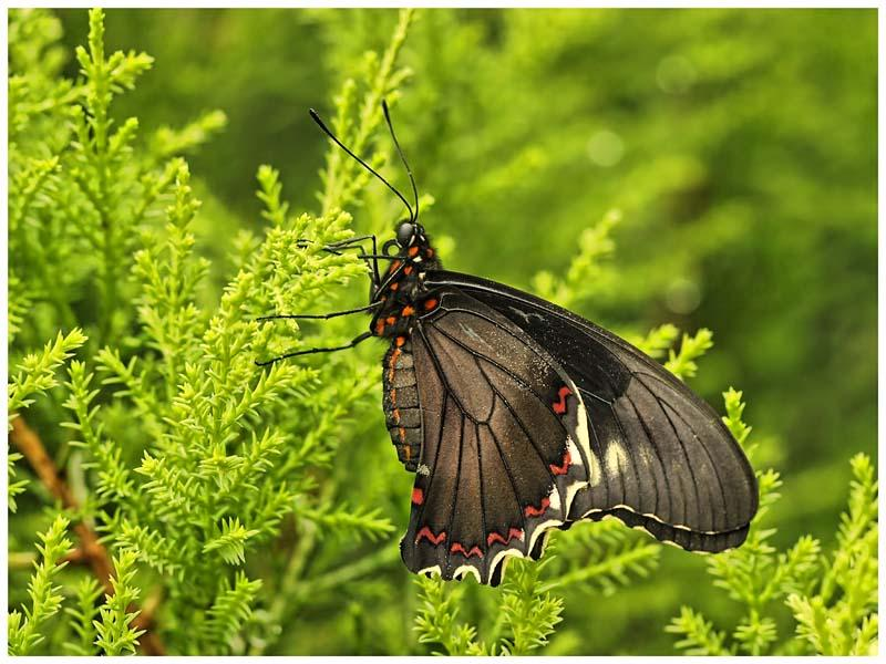 Red Spotted Swallowtail