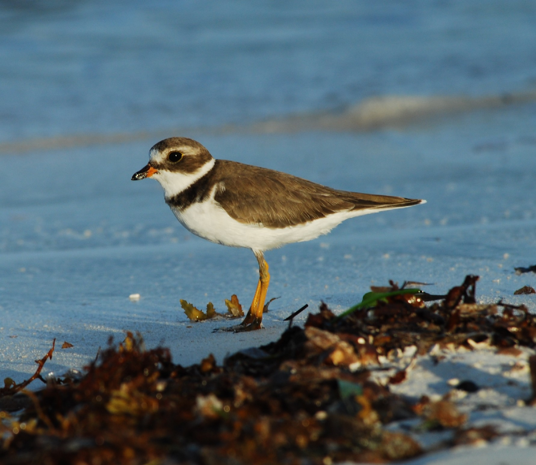 Semipalmated Plover_SK_2.JPG