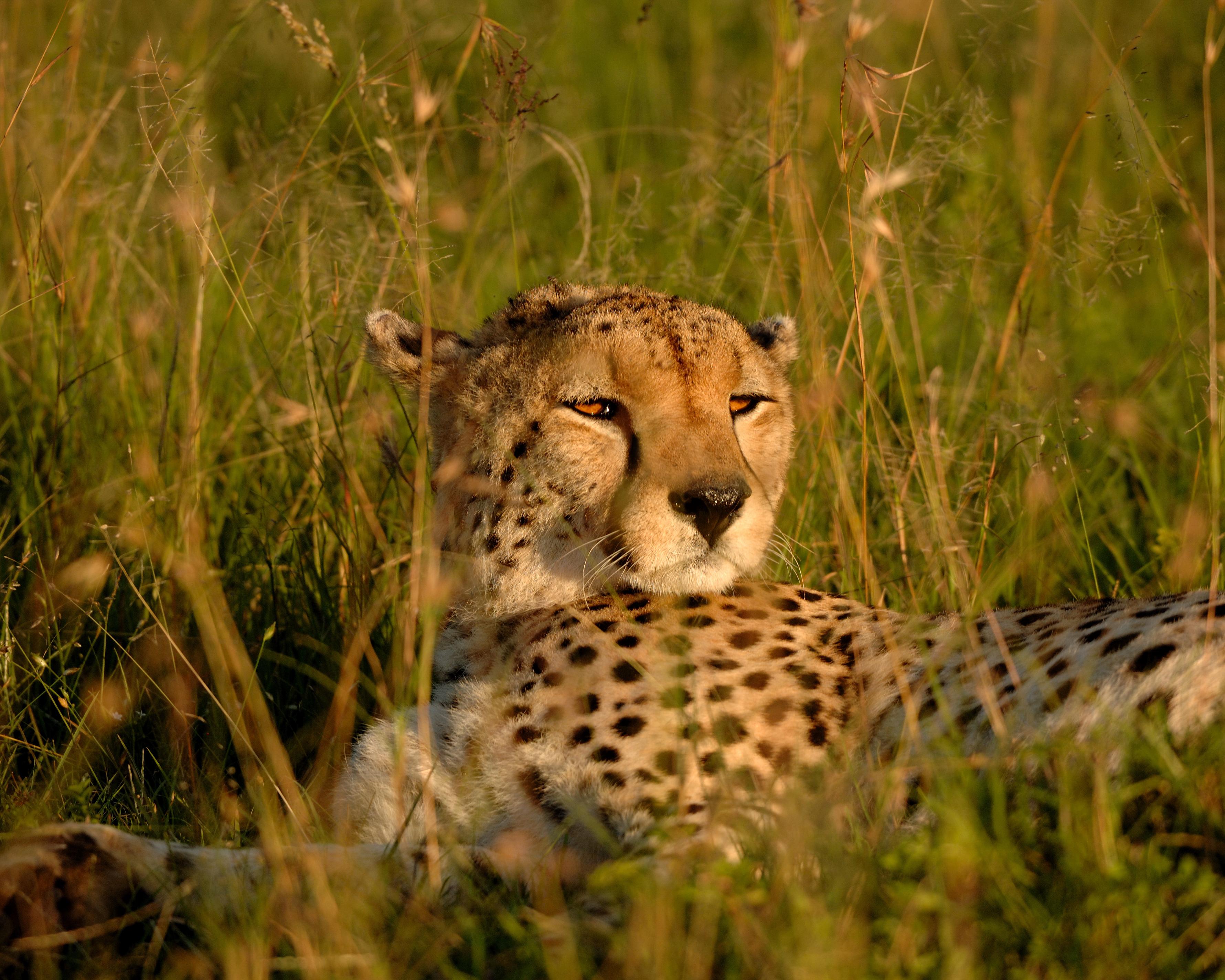 Cheetah1a.jpg