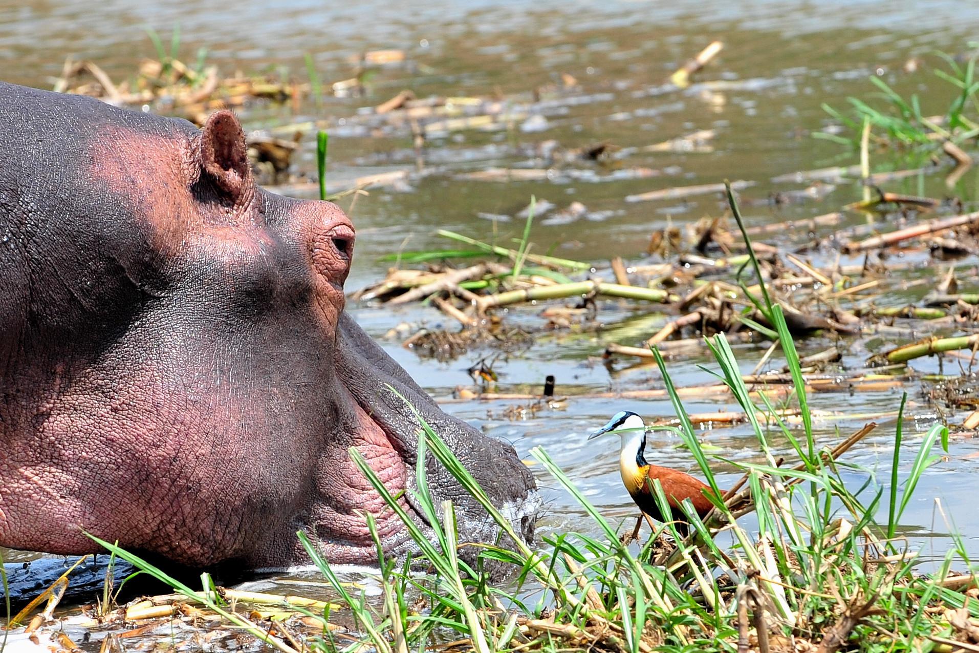 When Hippo Met Ducky