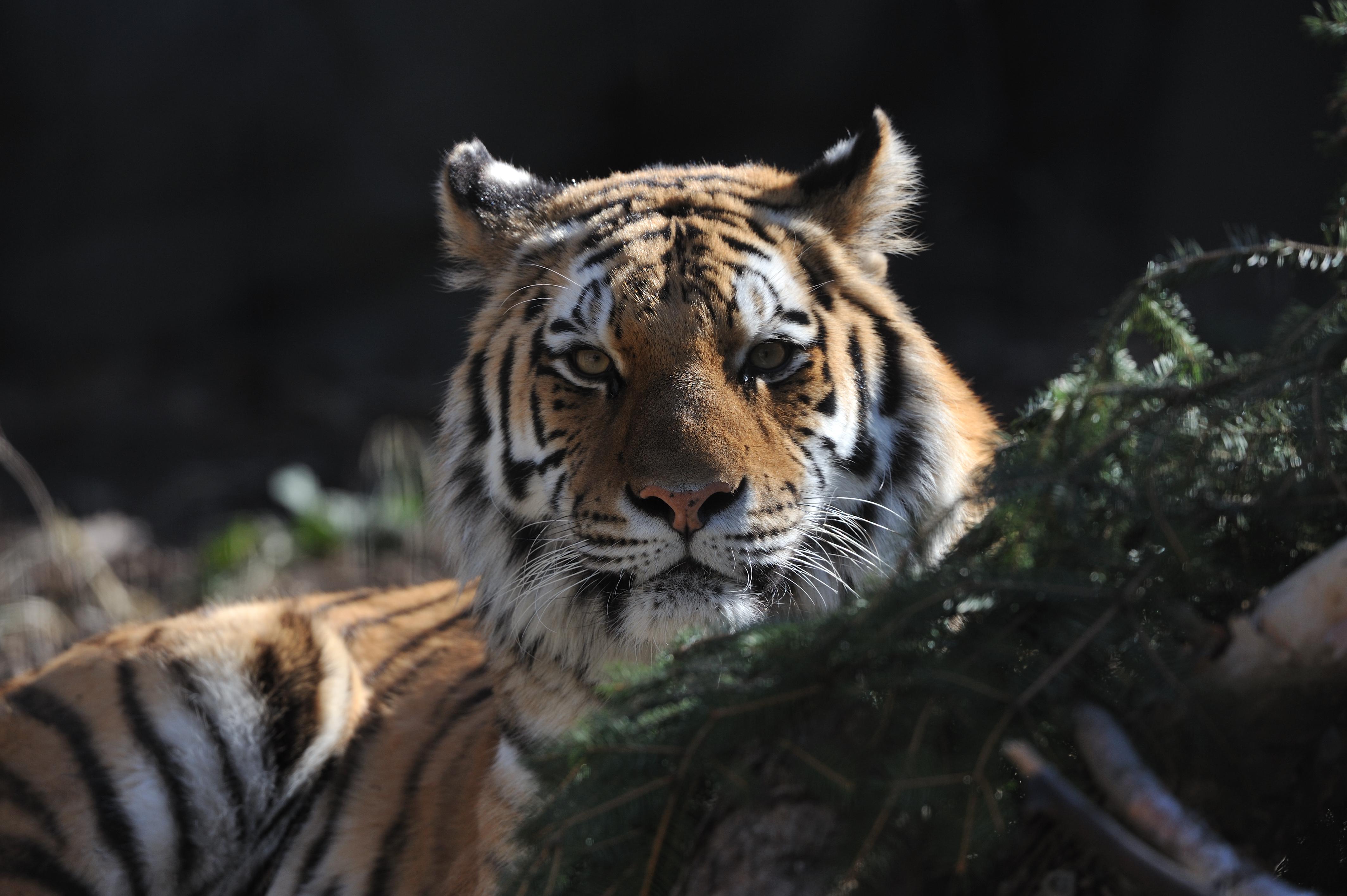 tiger2.jpg