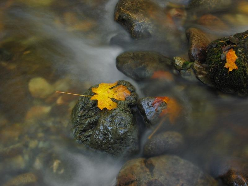 Maple leaf on a rock in the creek