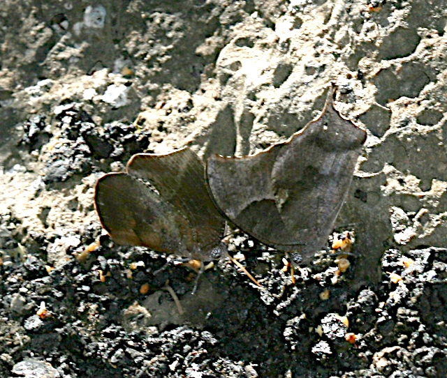 Pale-spotted Leafwing and Memphis sp.