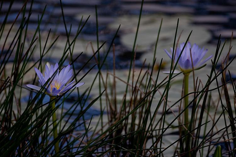 Lillies 2