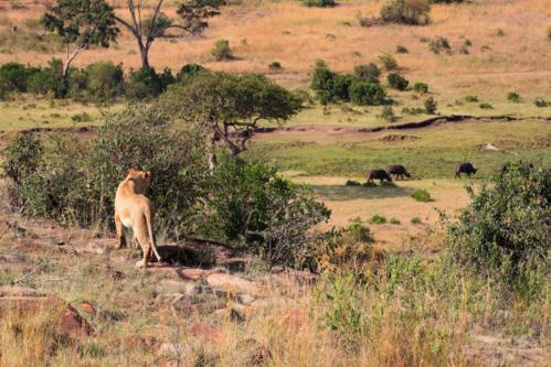 2794 Lion stalking buffalo.jpg
