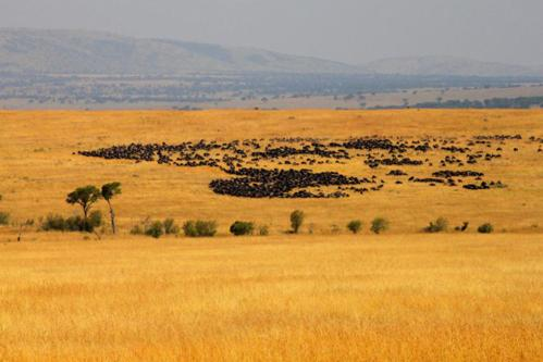 3008 Migrating Wildebeest Maasai.jpg