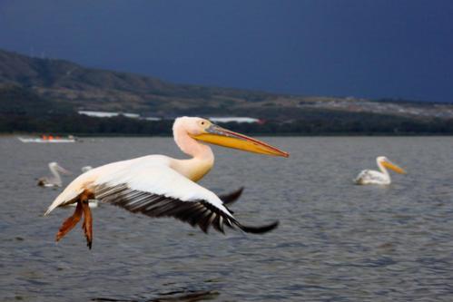 3275 Pelican Naivasha.jpg