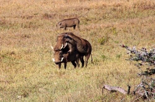 3408 Warthogs mating.jpg