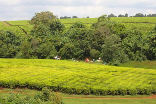 3884 Tea plantations Kericho.jpg