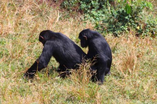 4190 Mating Chimps.jpg