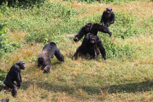 4208 Excited Chimps.jpg