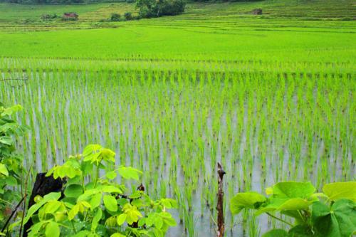 1640 Rice fields closeup.jpg