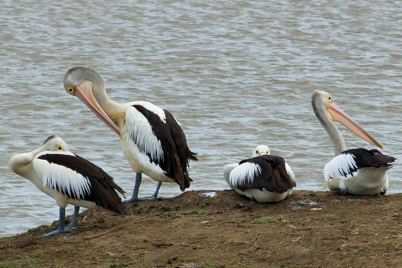 Not More Pelicans! 05/12