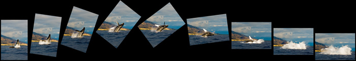 Humpback Whale - Breach - HIGH FLYING (poster)
