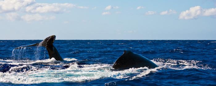 Humpback Whale - tail hump RD-551