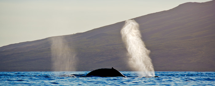 Humpback Whale - blow RD-555