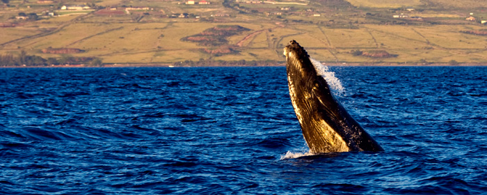 Humpback Whale - head lunge RD-558