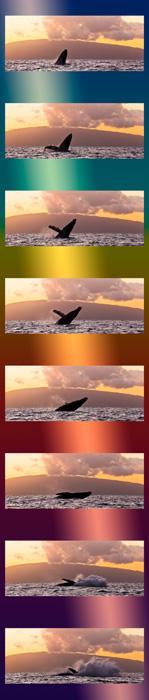 Humpback Whale - Breach Whale Sequence #2