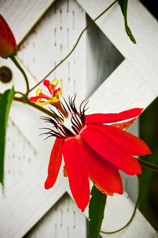 Passion flower RD-617