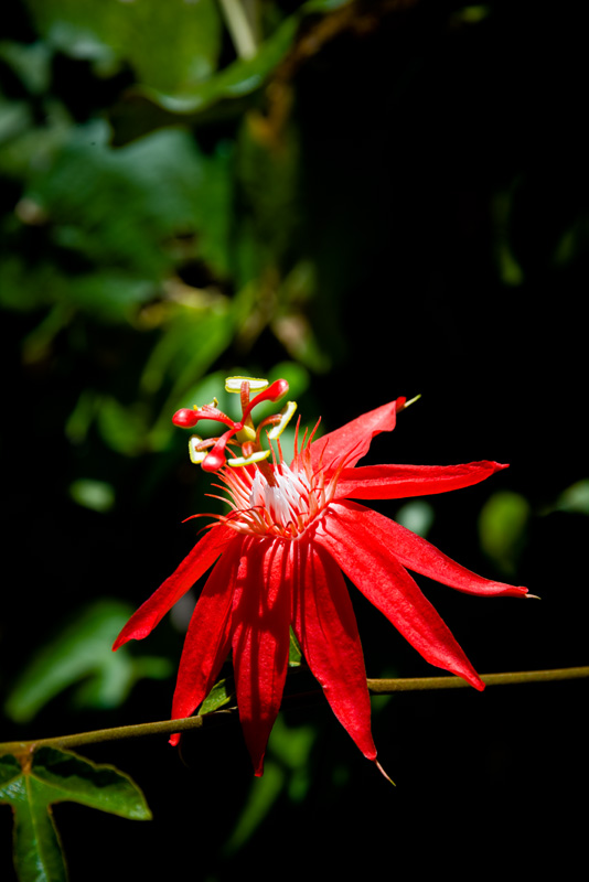 Passion flower RD-627