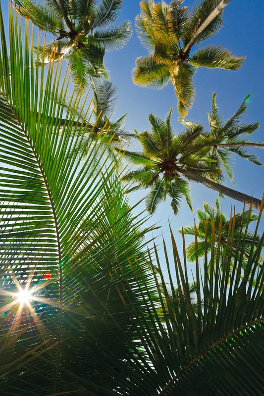 Palm tree - sun burst palm 10870