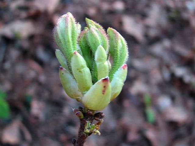 <i>atlanticum</i> flower bud