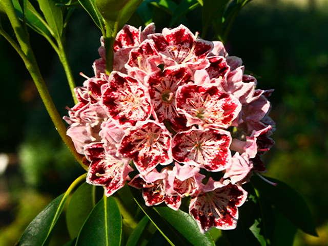 <i>Kalmia latifolia</i> Carousel
