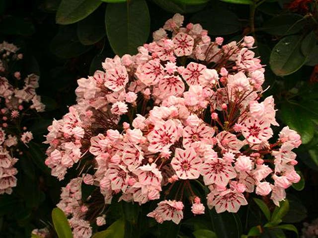 <i>Kalmia latifolia</i> Peppermint
