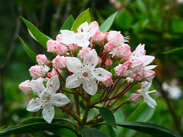 <i>Kalmia latifolia</i> Shooting Star