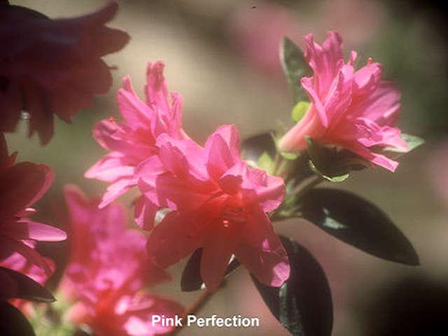 Schroeders Pink Perfection