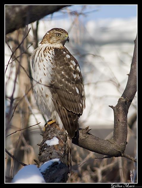 Oiseau dans ma cour Bird in my backyard 3452.jpg