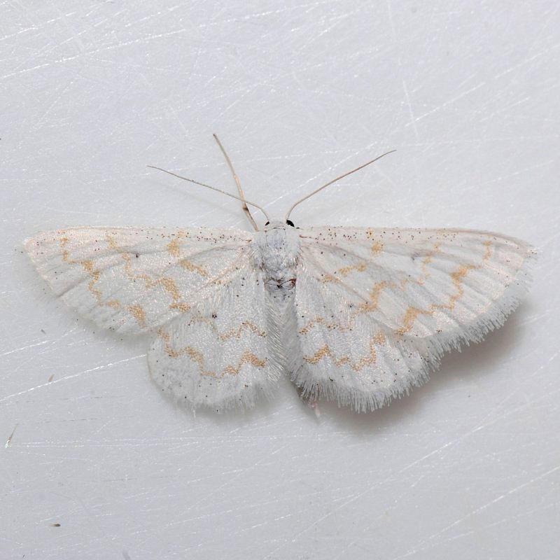 7423  Fragile White Carpet  - Hydrelia albifera