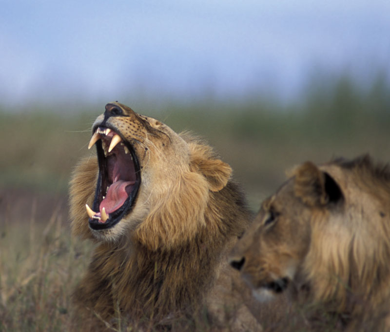 Lion Pair Yawning Mar-2004 Nbinatp 01387.jpg