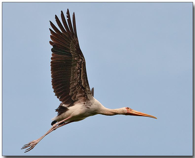 Milky Stork - beginning flight