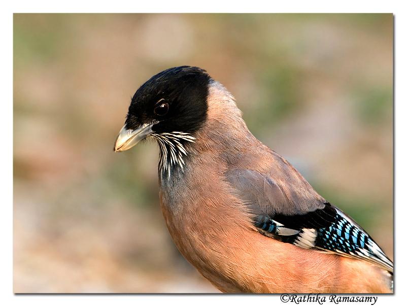 Black-headed Jay(Garrulus lanceolatus)-6842