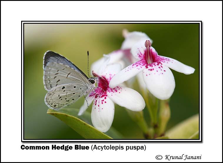 Common Hedge Blue Acytolepis puspa 8738.jpg