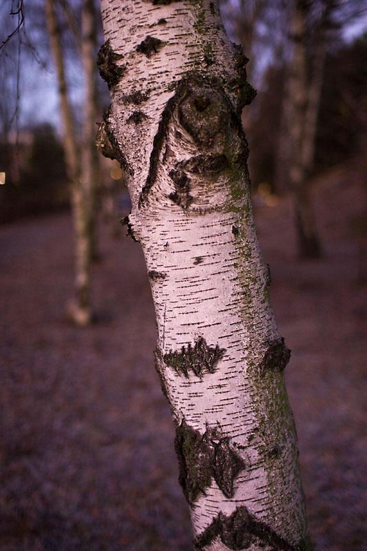 Birches in December morning 3