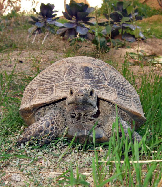 A tortoise in Pigeon Valley