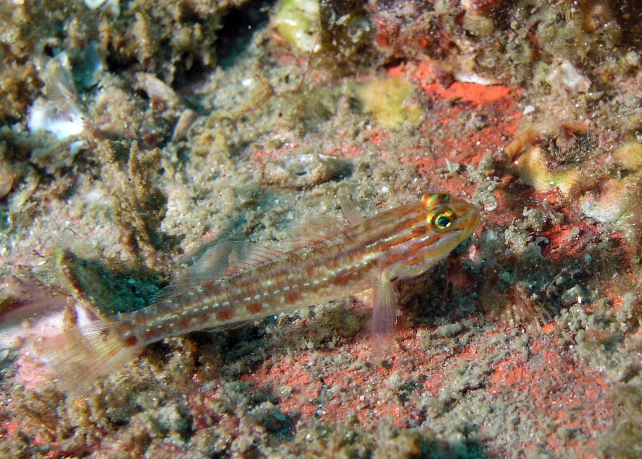 Spotted Goby