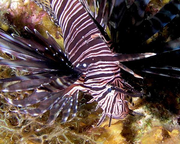 Lionfish P3310050.jpg