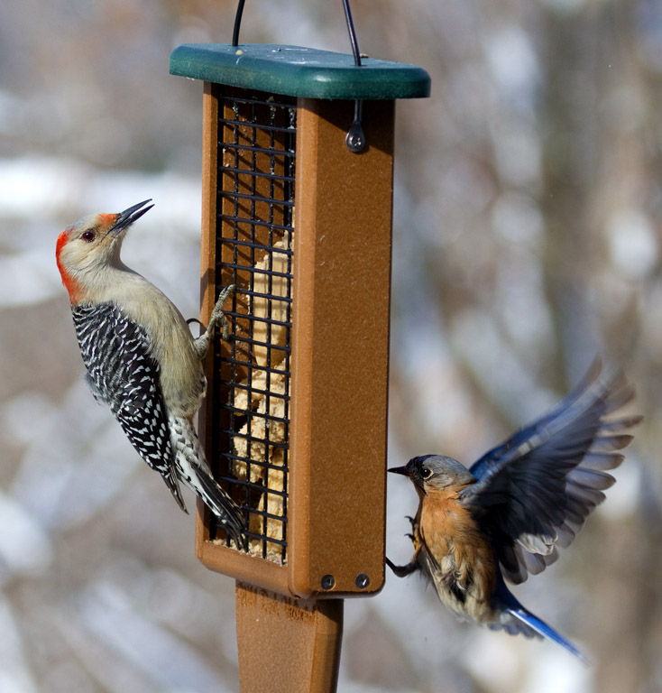 _MG_0192 Red Bellied  Woodpecker and Landing Bluebird